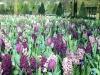 tulipes-et-jacinthes-jpg