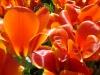 tulipes-rouges-jpg